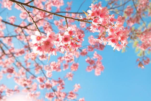 Bello fiore di sakura (fiore di ciliegia) in primavera. fiore dell'albero di sakura su cielo blu. Foto Premium
