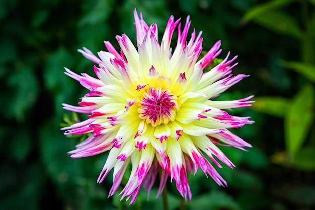 Bello fiore rosa-giallo fresco della dalia del primo piano su un fondo di erba Foto Premium