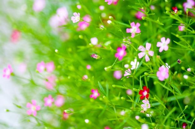 Bello fiore rosa variopinto del boutique del gypsophila in giardino Foto Premium