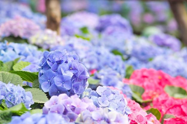 Bello fiore viola dell'ortensia nel giardino della natura fiori porpora del mazzo del fiore dell'ortensia Foto Premium