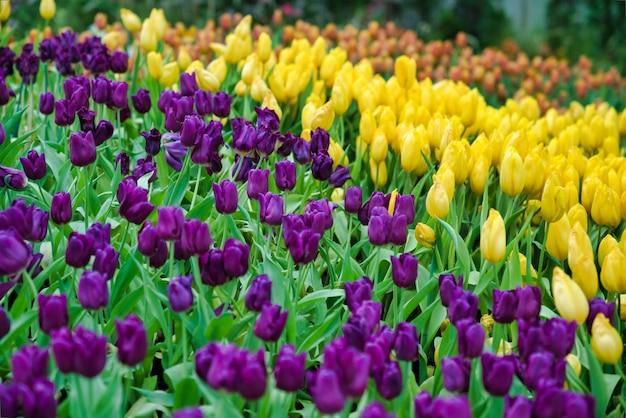Bello fiore viola e giallo del tulipano. il tulipano variopinto di fioritura fiorisce in giardino come fondo floreale Foto Premium