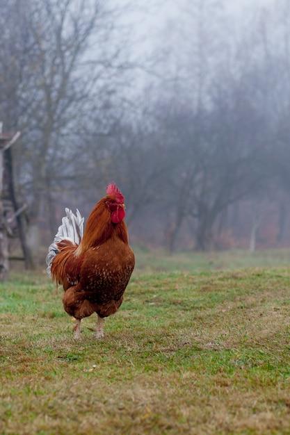 Bello gallo che sta sull'erba nel fondo vago di verde della natura Foto Premium