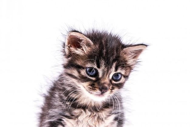 Bello gattino tabby lanuginoso con i grandi occhi blu Foto Premium