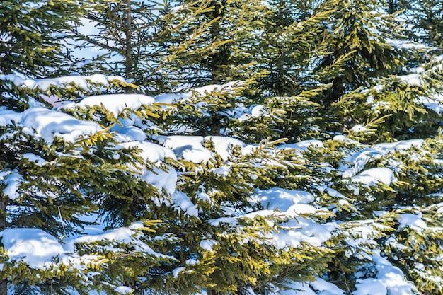 Bello paesaggio naturale all'aperto con l'albero di natale Foto Gratuite