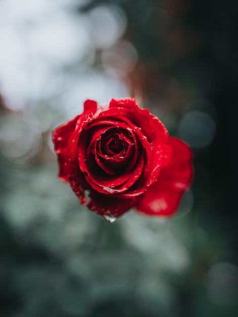 Bello primo piano di una rosa rossa con la rugiada di mattina su Foto Gratuite