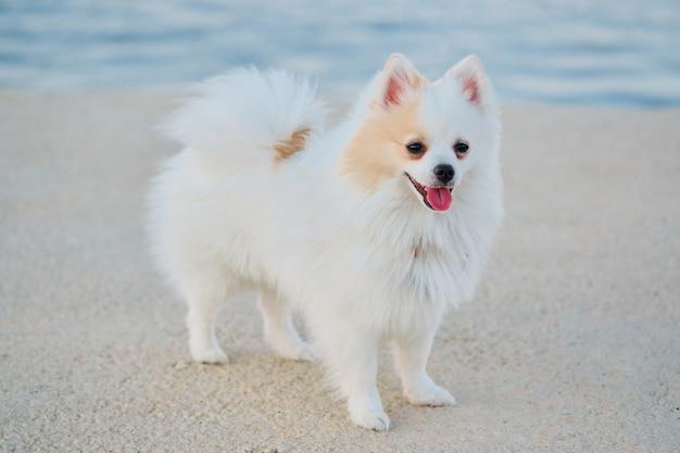 Bello spitz pomeranian bianco che cammina all'aperto in un porto marittimo. Foto Premium
