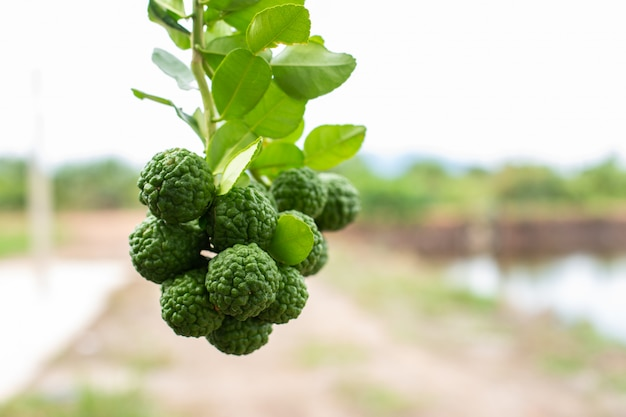 Bergamotto verde sulla natura della sfuocatura dell'albero. Foto Premium