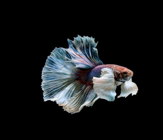 Betta pesce, combattimento siamese, betta splendens isolato Foto Premium