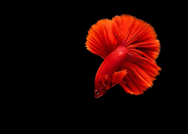 Betta pesce, pesce combattente siamese, betta splendens isolato Foto Premium