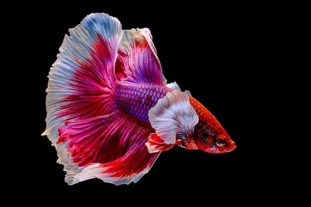 Betta pesce, pesce combattente siamese su sfondo nero Foto Premium