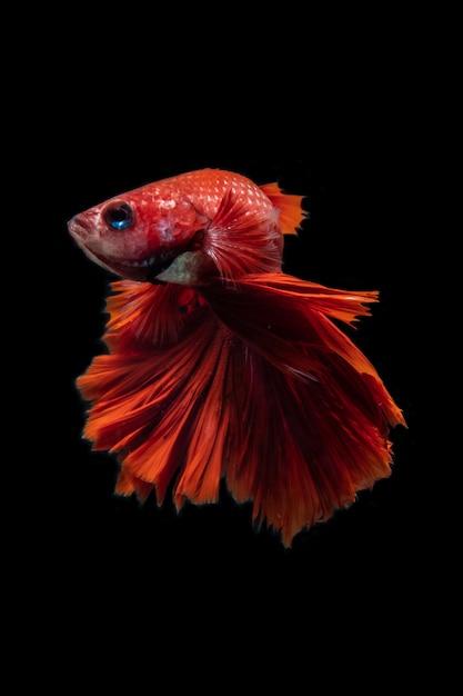 Betta siamese pesce bello colore su sfondo nero Foto Premium