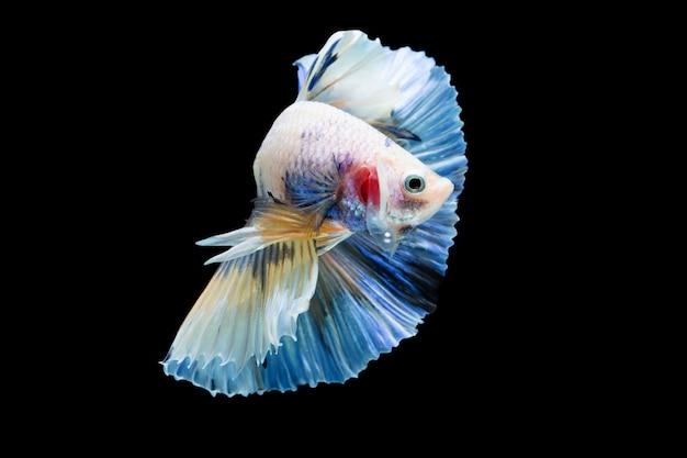 Betta splendens, pesce combattente siamese Foto Premium