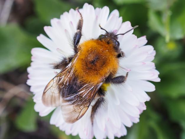 Big bumblebee che striscia su una margherita Foto Premium