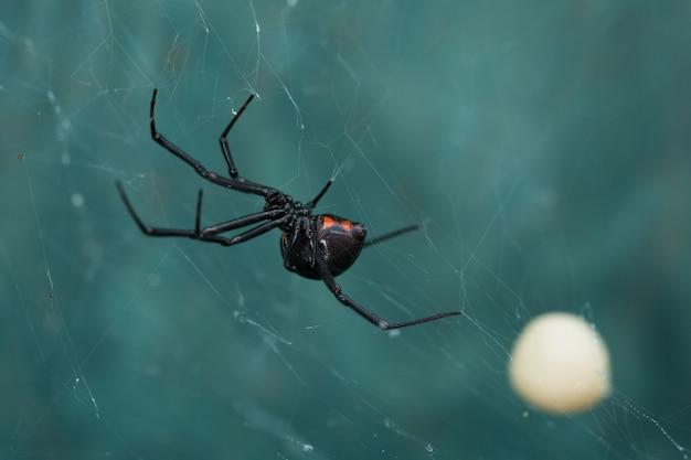 Black widow spider and egg sac Foto Premium
