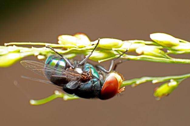 Blow fly, fly carogne, bluebottles o fly cluster. Foto Premium