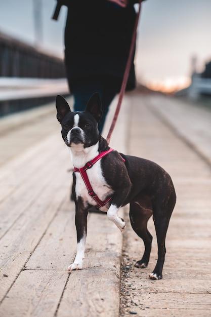 Boston terrier in bianco e nero sulla strada durante il giorno Foto Gratuite