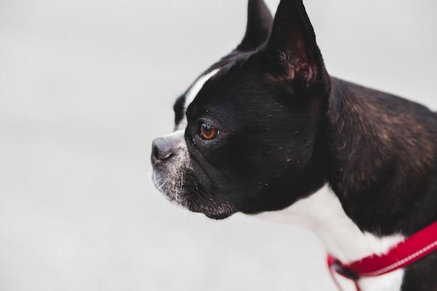 Boston terrier in bianco e nero Foto Gratuite