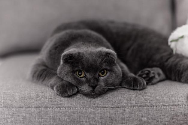 Britannico della razza del gatto grigio. piccolo gatto britannico. animali domestici Foto Premium