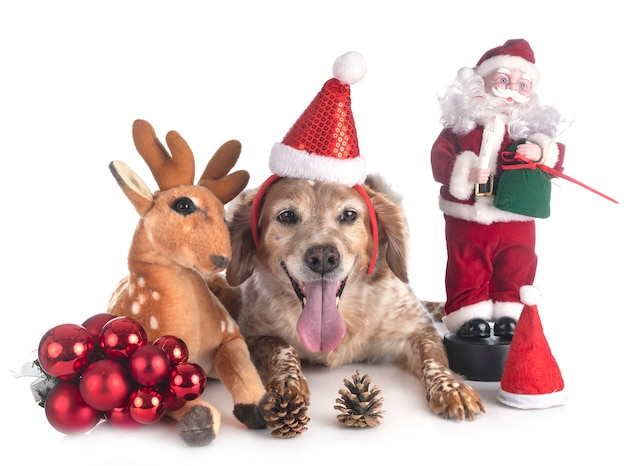Brittany cane animale a natale Foto Premium