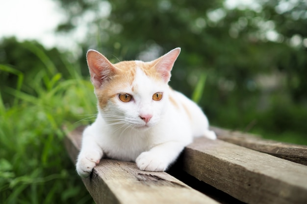 Brown e gatto bianco tailandesi su vecchio di legno in giardino Foto Premium