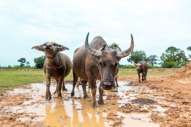 Bufali della tailandia nel giacimento del riso Foto Premium