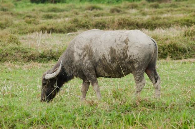 Bufalo indiano che mangia erba in campo. Foto Premium