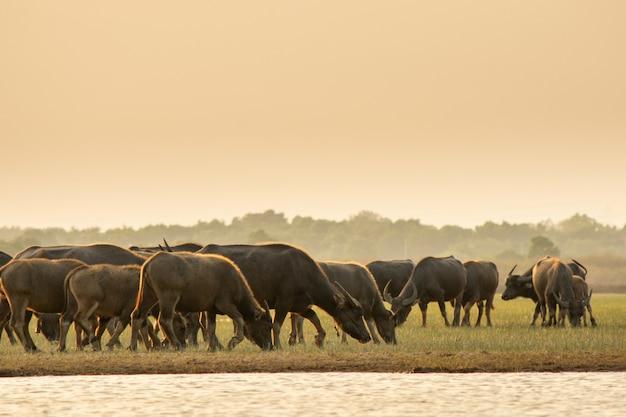 Bufalo tailandese della palude nella palude della torba intorno alla laguna Foto Premium