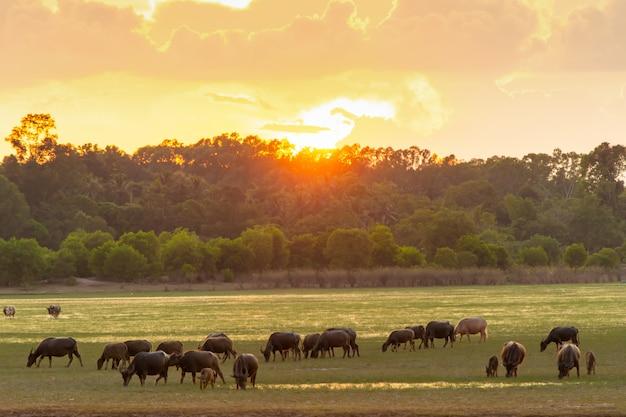 Bufalo tailandese della palude nella torba della torba intorno alla laguna con il fondo di tramonto Foto Premium