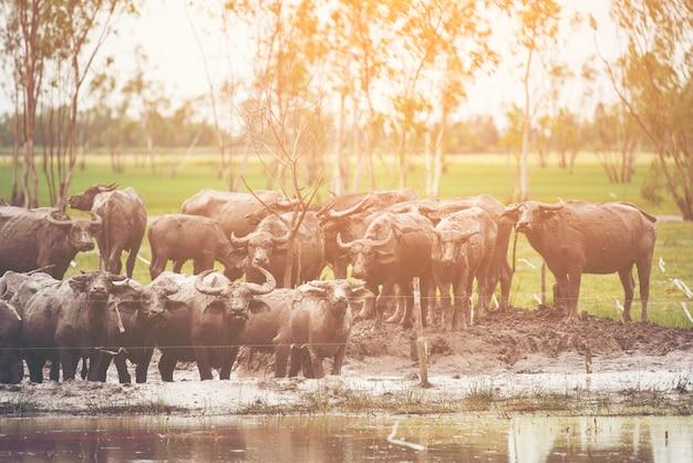 Buffalo agricoltura nel campo della thailandia. Foto Premium