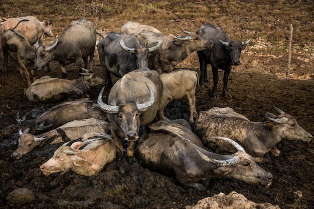 Buffalo tailandese sul campo Foto Premium