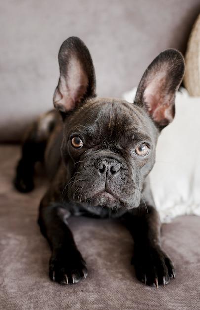 Bulldog francese adorabile del primo piano Foto Gratuite