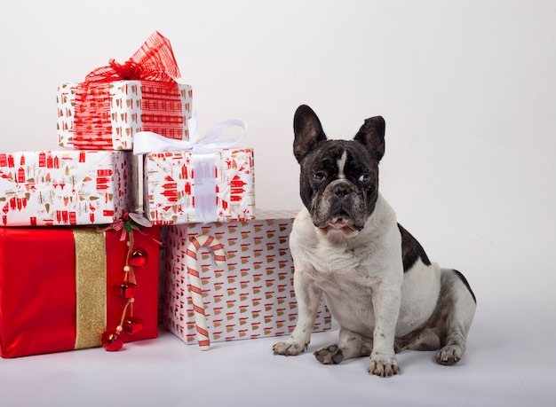 Bulldog francese che si siede con i contenitori di regalo di natale Foto Premium
