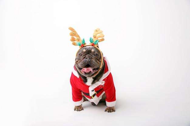 Bulldog francese in costume della renna di natale isolato su priorità bassa bianca Foto Premium