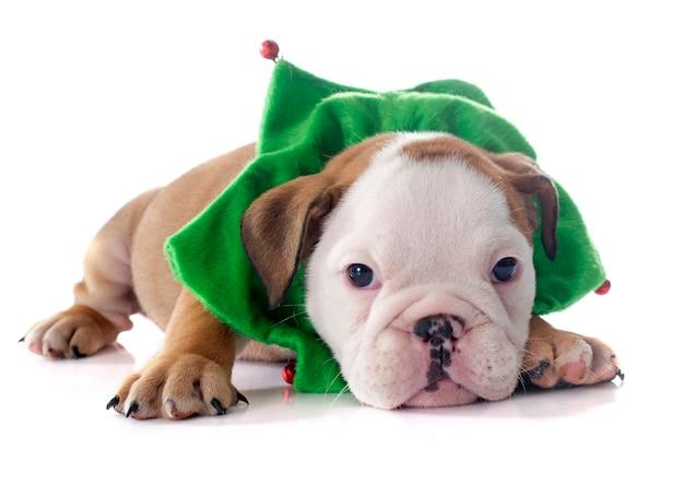 Bulldog inglese del cucciolo di natale Foto Premium