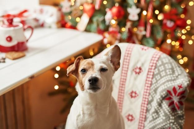 Buon natale. cane jack russell terrier in casa decorato con albero di natale e regali auguri buone vacanze e vigilia di natale. modello di cartolina e calendario. cane di natale jack russell terrier Foto Premium