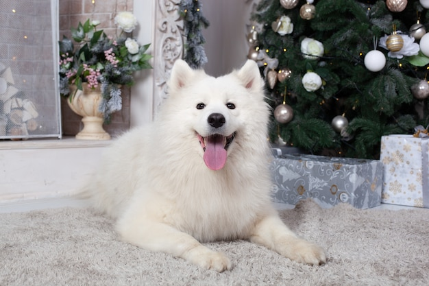Buon natale e buone feste. nuovo anno 2020. il cane samoiedo si trova nel salotto degli interni di natale. Foto Premium