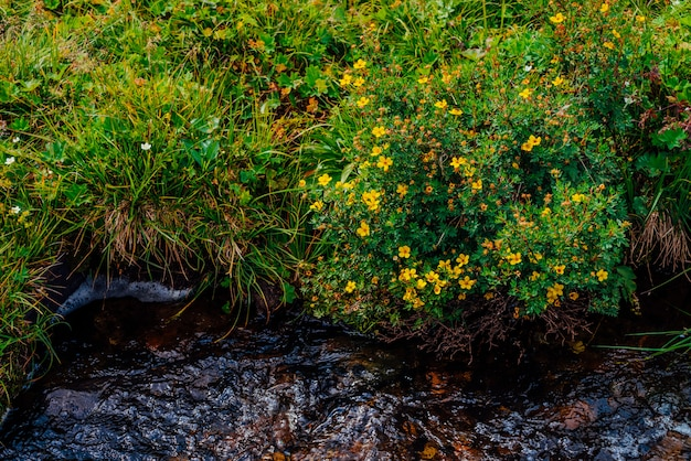 Fiori Gialli Medicinali.Bush Con I Fiori Gialli Di Fioritura Del Silverweed Vicino Al
