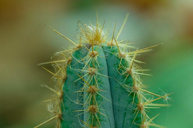 Cactus in natura le spine affilate. Foto Premium
