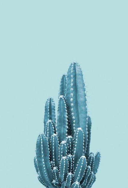 Cactus su sfondo blu Foto Premium