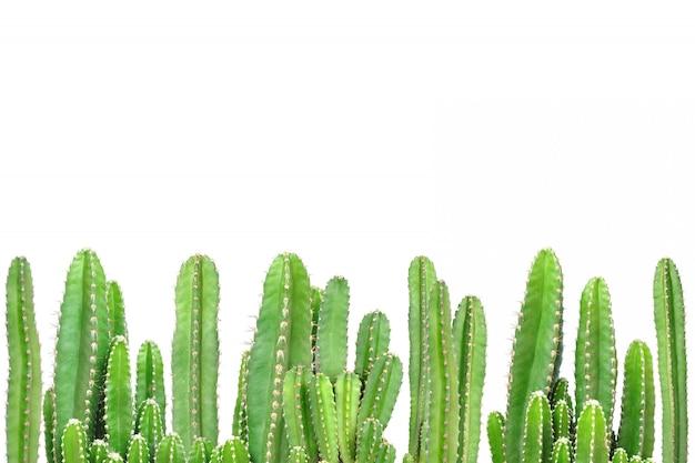 Cactus su sfondo isolato Foto Premium
