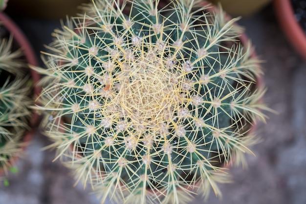 Cactus, succulente, spine, carta da parati del primo piano, pianta d'appartamento Foto Premium