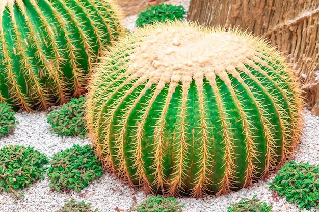 Cactus verde con la spina rossa sul giardino di rocce Foto Premium