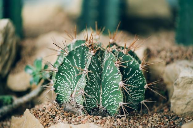 Cactus verde pianta verde succulenta. Foto Premium