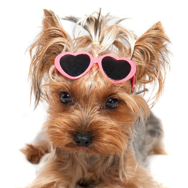 Cagnolino divertente con gli occhiali yorkshire terrier Foto Premium