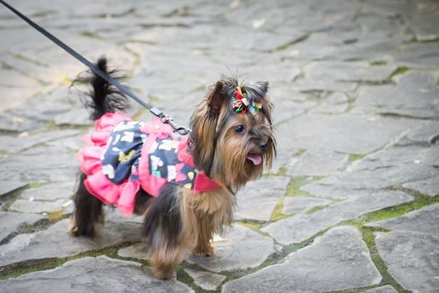 Cagnolino in vestiti per una passeggiata. Foto Premium
