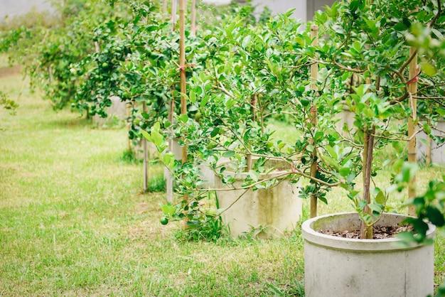 Calce verdi su una piantagione di alberi nel tubo di cemento. alta vitamina c degli agrumi freschi della calce nell'azienda agricola del giardino. Foto Premium