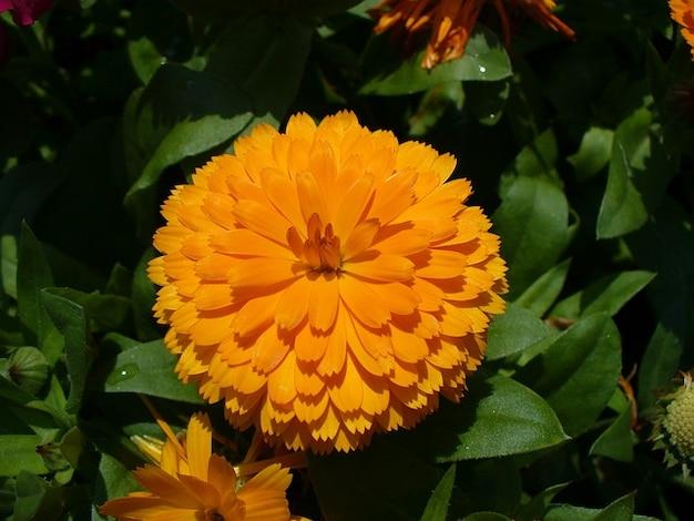 Calendula officinalis calendula Foto Gratuite