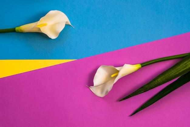 Callas su tre tonalità di colore solido giallo, viola e sfondo azzurro Foto Premium
