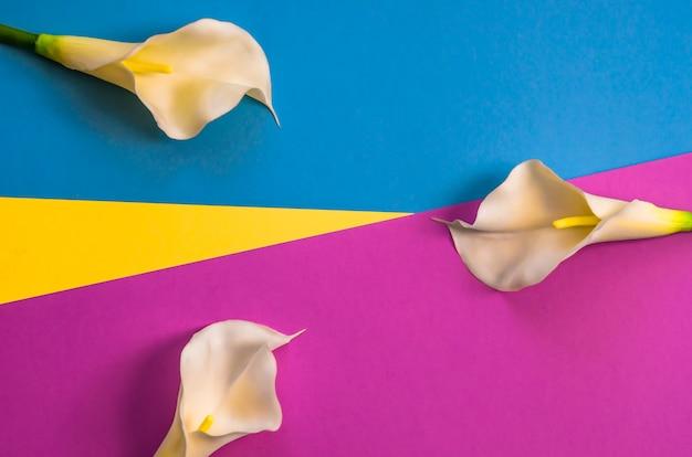 Callas su tre tonalità di colore solido giallo, viola e sfondo azzurro. Foto Premium