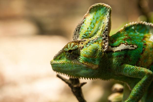 Camaleonte verde portret sul plante Foto Premium